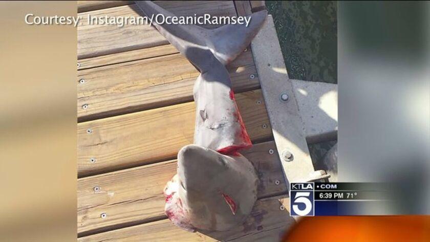 Decapitated shark