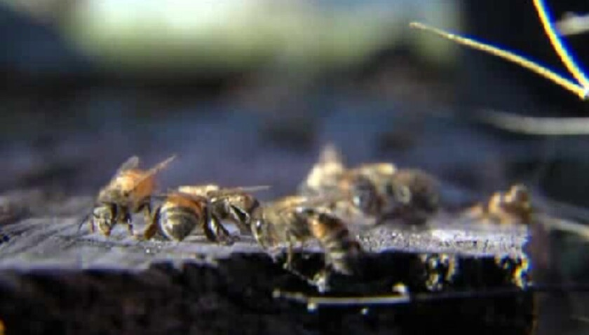 Killer bee incursions have been reported in first-tier states like Texas and California as well as some second-tier states like Oklahoma and Nevada, with at least one death reported in Texas as well as attacks on humans and animals elsewhere.