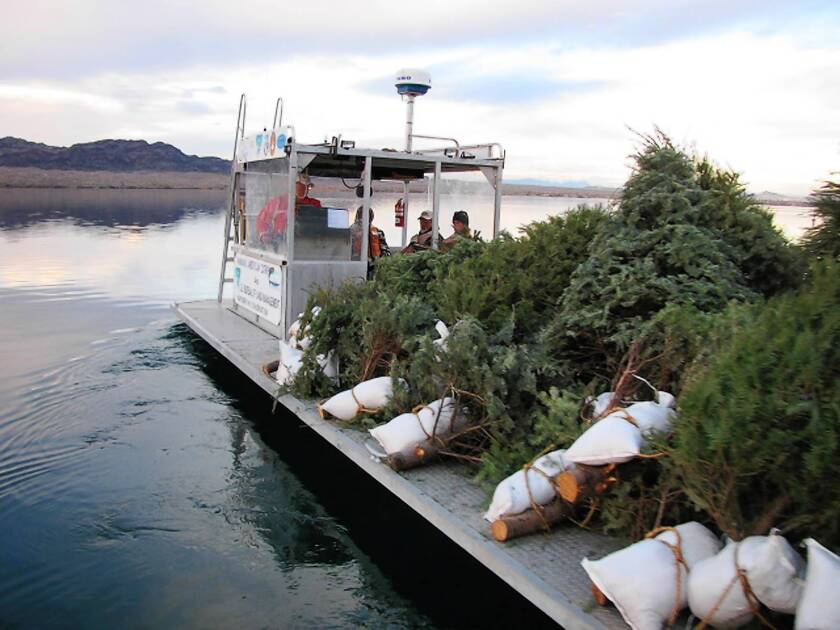 Dumped Christmas trees are a gift for Lake Havasu fish