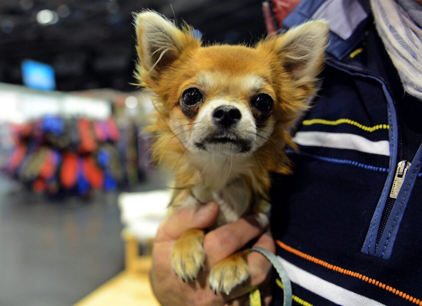 A chihuahua may be a dog, but is it really related to an ancient wolf? Really?