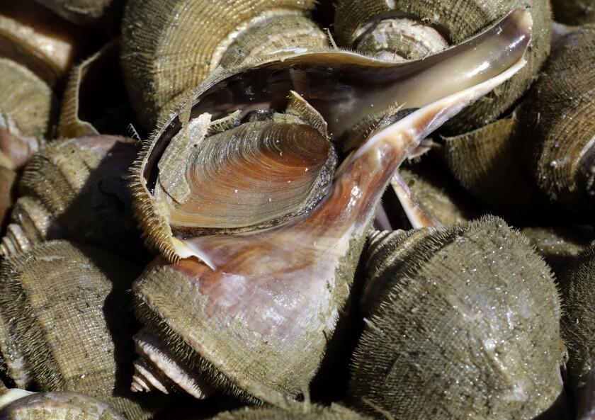 En esta imagen, caracoles marinos en en recipiente a bordo de un barco de pesca en Little Compton, Rhode Island. (AP Foto/Steven Senne)