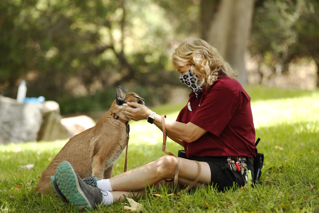 Animal training manager Susie Ekard sits with Kasten, a caracal, who is one of the animal ambassadors at the San Diego Zoo Safari Park on May 19, 2020.