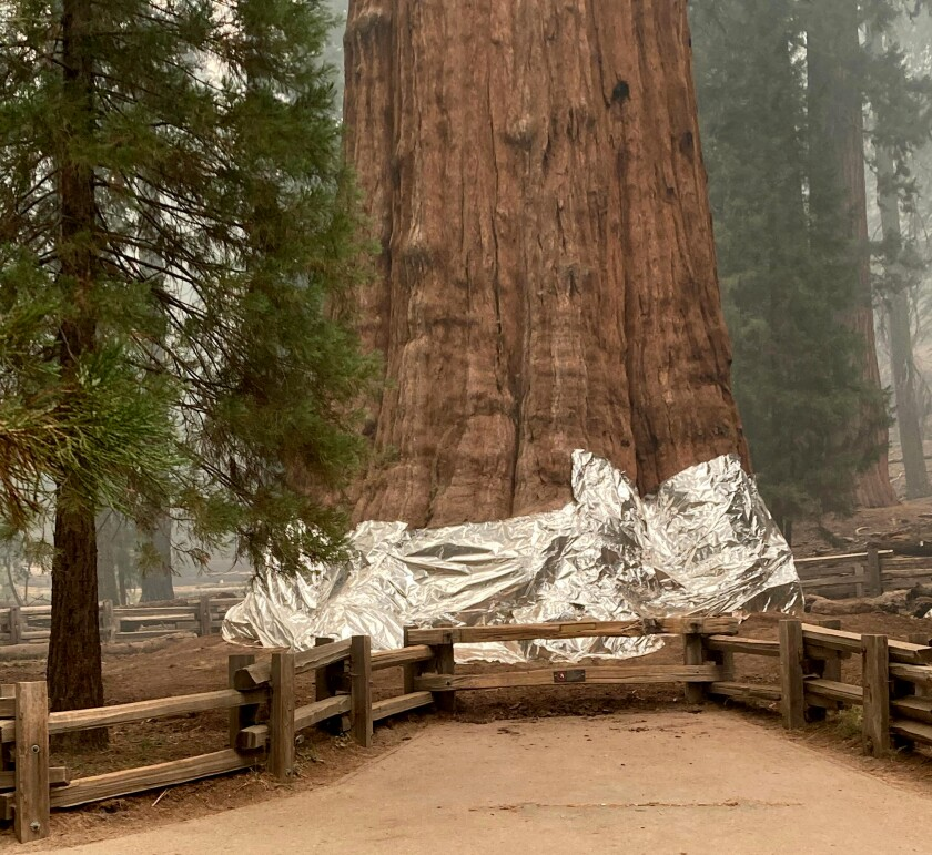 The General Sherman tree in the Giant Forest of Sequoia National Park is wrapped in fire-resistant material.