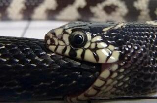 Ocho datos sobre las serpientes rey