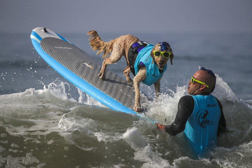 Huntington Beach, CA - September 25: Derby, a 9-year-old Golden Doodle, and Kentucky Gallahue, 41, wait for a good wave to launch during annual Surf City Surf Dog competition held at dog beach on Saturday, Sept. 25, 2021 in Huntington Beach, CA. (Irfan Khan / Los Angeles Times)