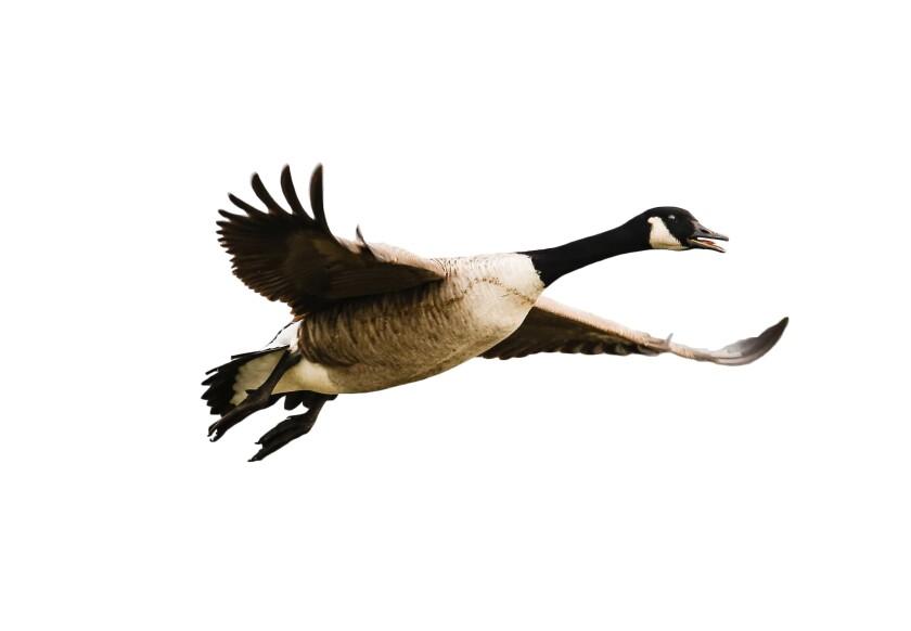 Vogel, Kanadagans im Flug - isoliert auf weiß