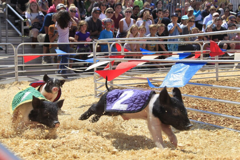 Swifty Swine Racing Pigs at the San Diego County Fair in Del Mar. (Hayne Palmour IV/Union-Tribune)