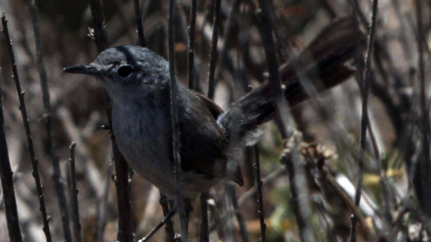 A California gnatcatcher hangs onto coastal sage in Palos Verdes.