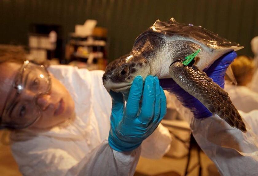 Personal médico examina una tortuga marina Kemp Ridley, Estados Unidos. EFE/Archivo