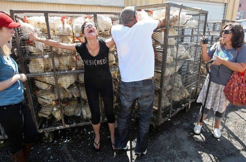 Animal rights activist Niloo Khodadadeh screams as her hand is caught in a cage as a man transfers chickens being used in the Orthodox Jewish tradition of kaparot.
