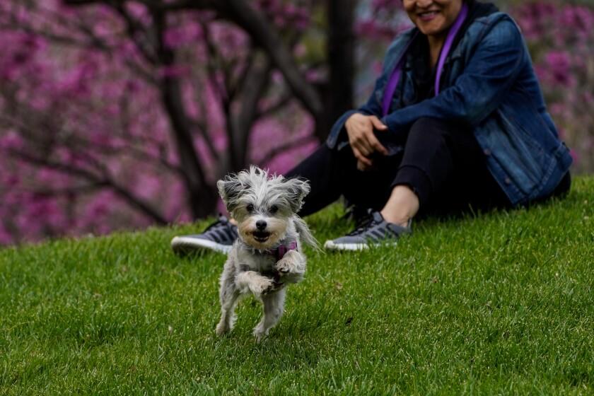 Lola the dog with Abby Nieto of Burbank