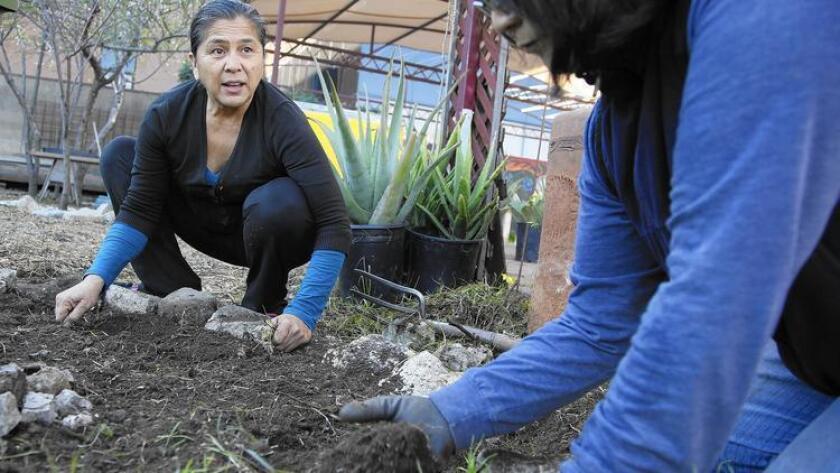 Irene Peña, directora ejecutiva de Proyecto Jardín, y Monica Okita, del sur de Pasadena, retiran la maleza alrededor de un árbol frutal en el jardín comunitario de Boyle Heights.