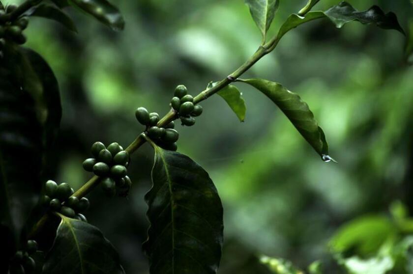 Secretario de Agricultura anuncia la germinación de árboles de café en P.Rico