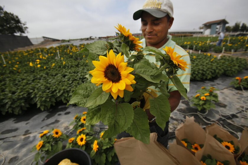 Gonzalo Raymundo packages sunflowers for transport at Sunlet Nursery in Fallbrook. The nursery sells flowers to markets across the country, including to Texas and Minnesota. Peggy Peattie/U-T San Diego