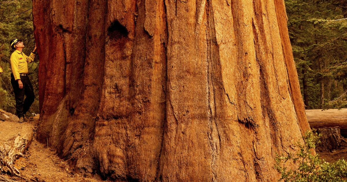 The bold firefighting strategies that saved some of the world's largest sequoias