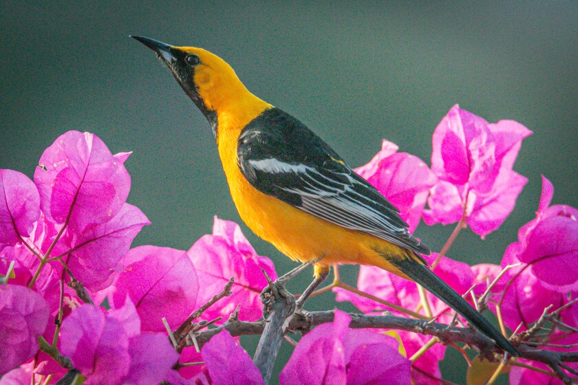 Hooded orioles welcome the energy provided by orange slices, grape jelly or nectar feeders filled with fresh sugar water.