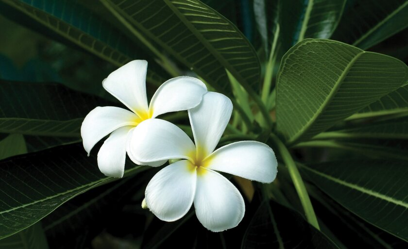 The plumeria has fragrant blossoms that are used to make leis in Hawaii.