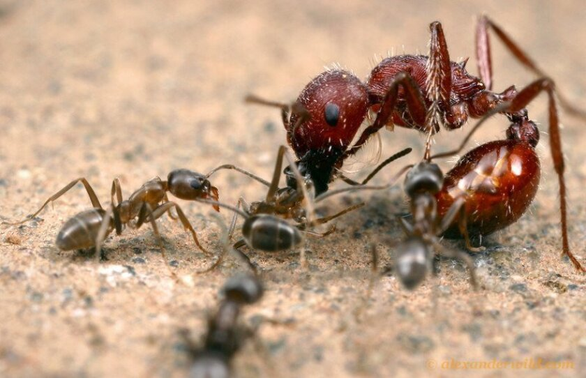 Argentine ants attack a harvester ant. / photo by Alex Wild * myrmecos.net