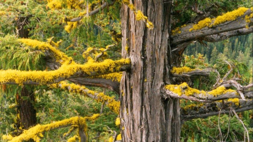 This undated photo provided by the U.S. Forest Service shows a yellow-cedar tree growing east of the Cascade Crest in Washington state. A study documenting mortality of yellow-cedar trees in Alaska and British Columbia concludes that the future is gloomy for the species.
