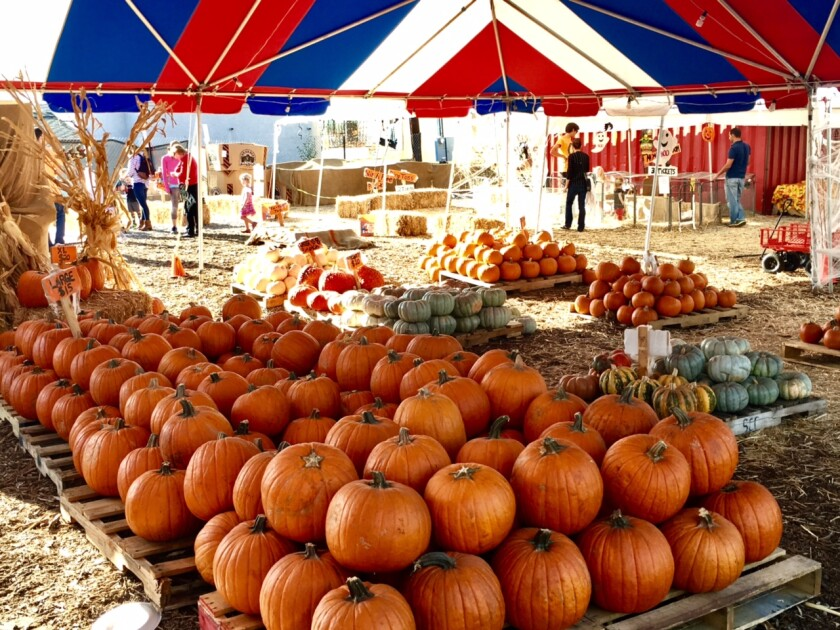 Mr. Jack O'Lanterns Pumpkins' roving pumpkin patch will be open Oct. 3-31 at 6710 La Jolla Blvd. in La Jolla.