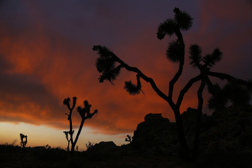 California will consider protecting Joshua trees as a threatened species.