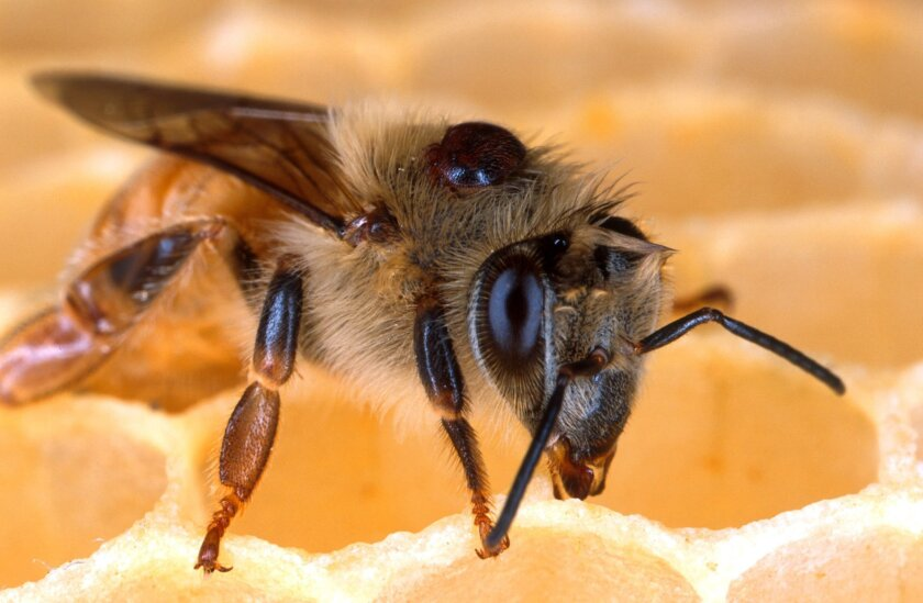 This undated handout photo provided by the Agriculture Department shows the deadly parasitic Varroa mite on the back of this honey bee is one of many insect pests that sugar esters may be useful in controlling. Sucrose octanoate, a sugar ester, can kill the mite without harming the bee. Nearly one
