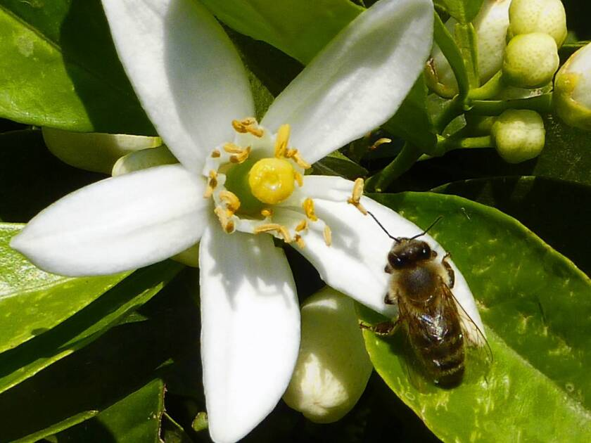 Caffeine amps up bees' memory, study finds