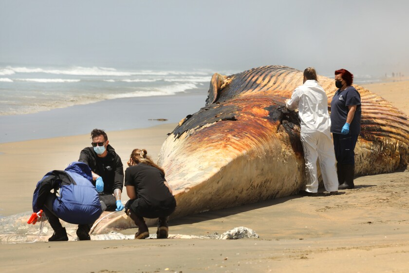 Scientists study a deceased fin whale on a beach
