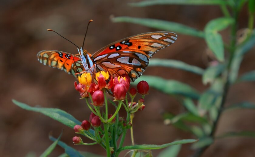 The Gulf Fritillary butterfly makes itself comfortable on a milkweed flower. A roadside attraction in Bonsall off Interstate 15 is more than just honey and flowers. Sabrina Lukosky, a long time merchant of local produce, flowers and honey, has teamed up with butterfly advocate David Marriott, found
