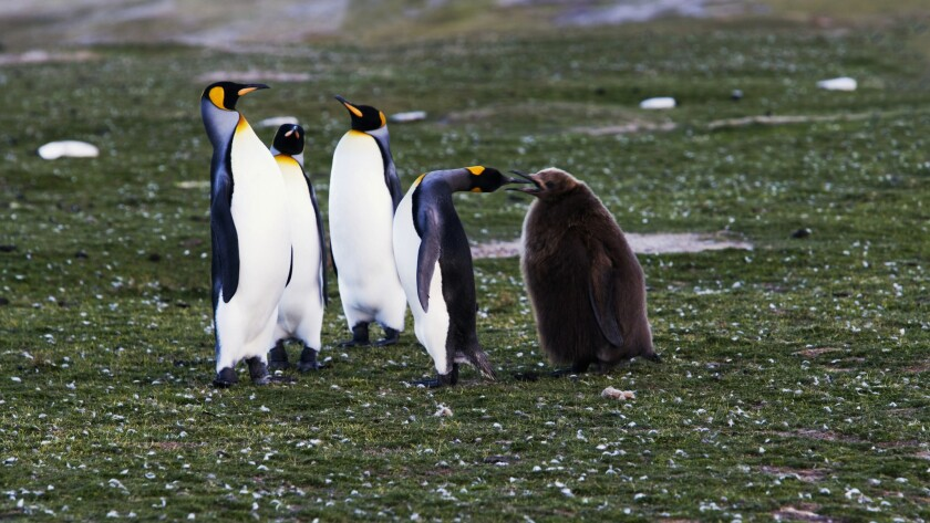A King penguin attends to its chick on Falkland Islands.