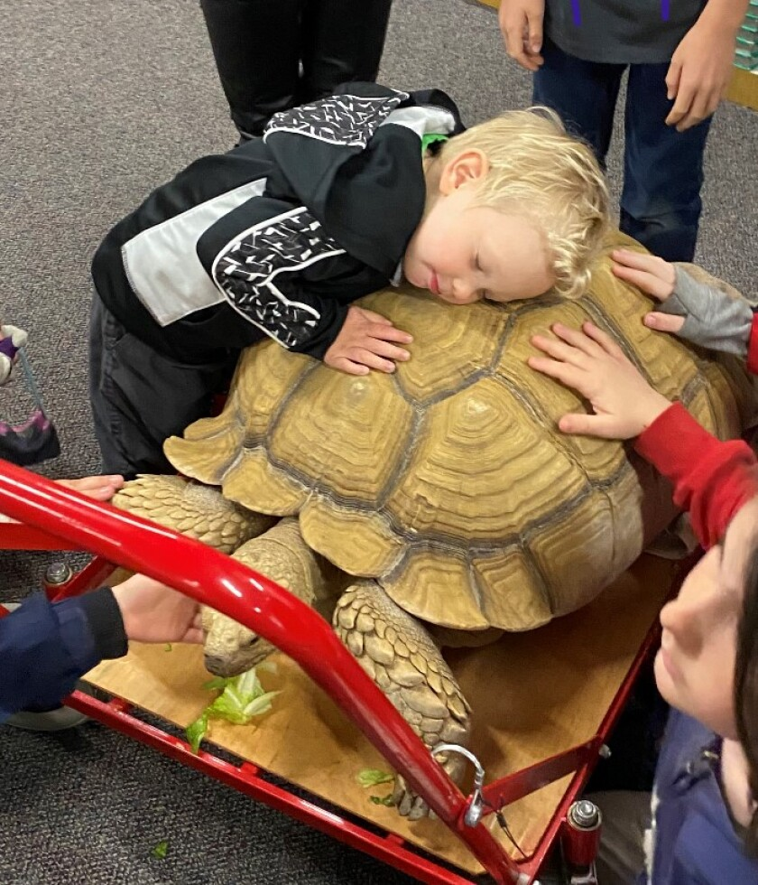 A tortoise hug from Levi Mitchell who joined his brother Sam for show and tell.jpg