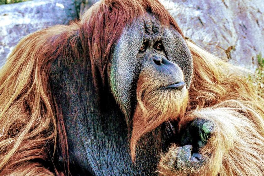 Adult male orangutan at San Diego Zoo.
