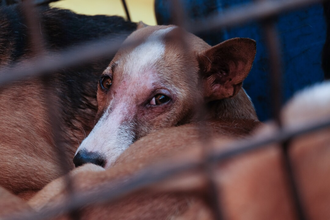 A dog in a narrow iron cage at the market in Tomohon, Indonesia