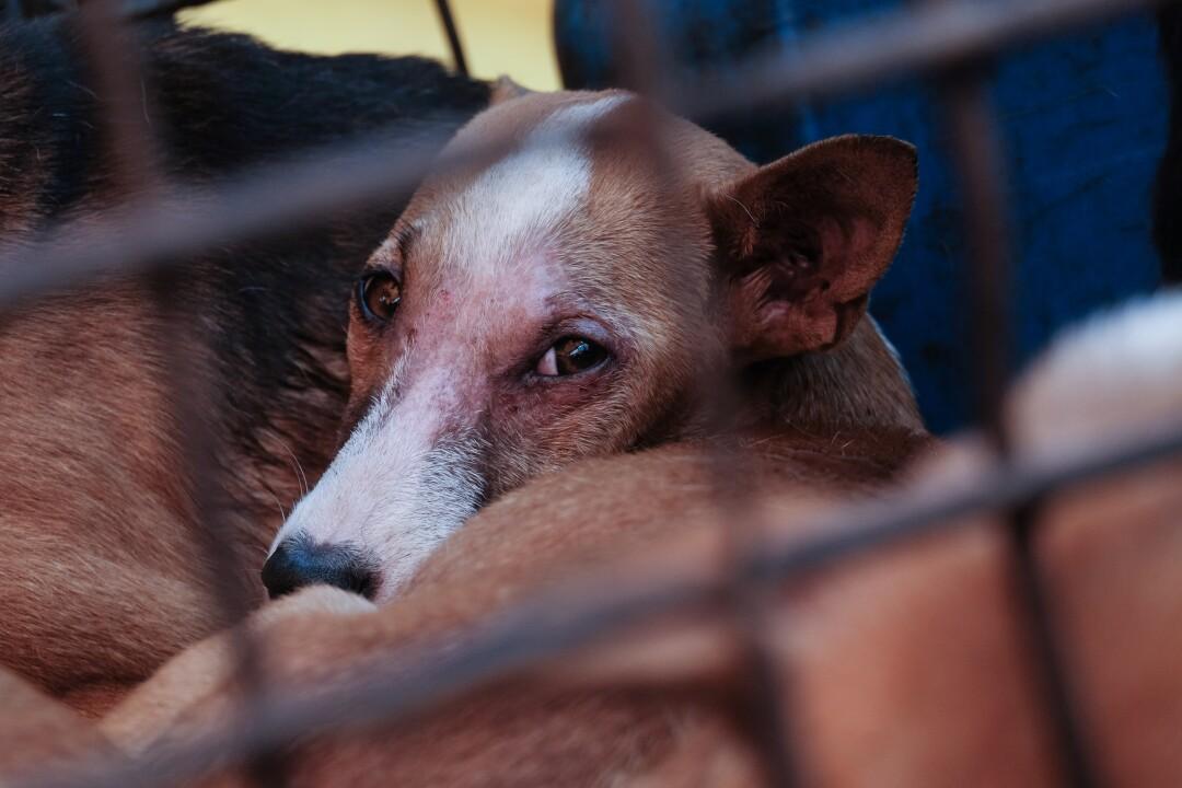 Un chien dans une étroite cage en fer au marché de Tomohon, Indonésie