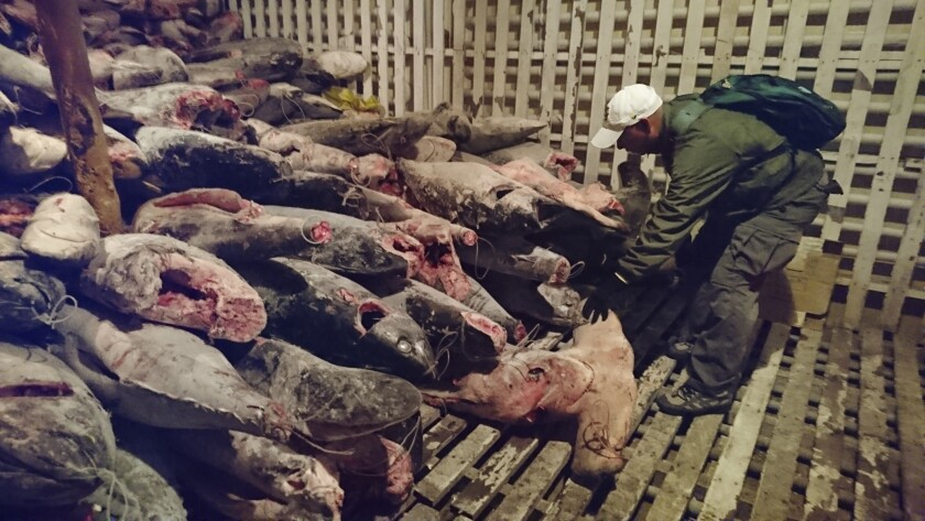 FILE - In this Aug. 13, 2017 handout file photo provided by Galapagos National Park, a park ranger takes part in the inspection of a Chinese flagship where 300 tons of marine species, several of them in danger of extinction, were found, in Galapagos Islands, Ecuador, as the ship and its crew are detained. In July 2020, a congregation of about 260 mostly Chinese fishing vessels near the Galápagos archipelago is stirring diplomatic tension and raising concerns about the threat to sharks, manta rays, and other vulnerable species in waters around the UNESCO world heritage site. (Galapagos National Park via AP, File)