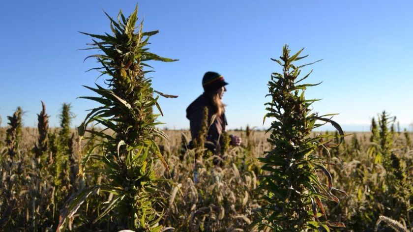 In this 2013 file photo, volunteers harvest a hemp field in Colorado. California recently passed Proposition 64, which has a provision allowing industrial hemp to be grown in the Golden State.