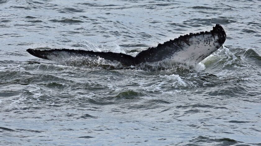 A humpback whale swims near the Verrazano-Narrows Bridge. Each whale's tail is unique, like a finger