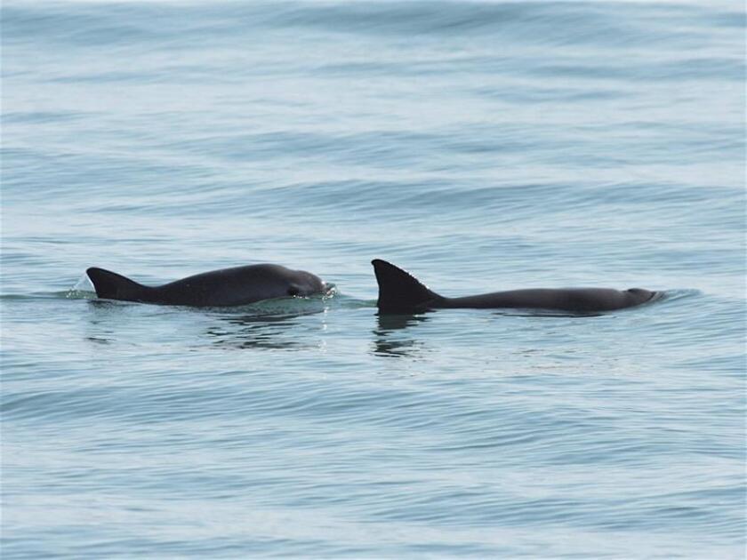 Fotografía cedida este jueves, por la Secretaría de Medio Ambiente y Recursos Naturales (Semarnat), que muestra dos ejemplares de vaquitas marinas. EFE/ Semarnat SOLO USO EDITORIAL NO VENTAS