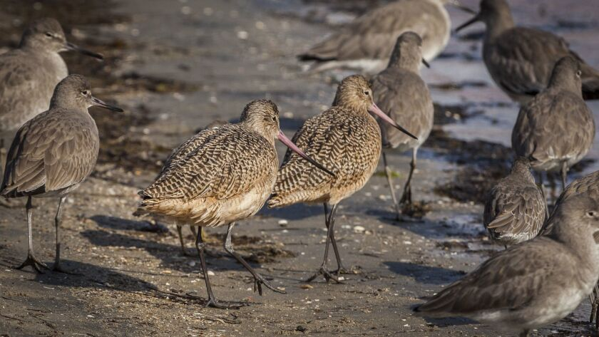 Godwits (at left) and willets along a shoreline.