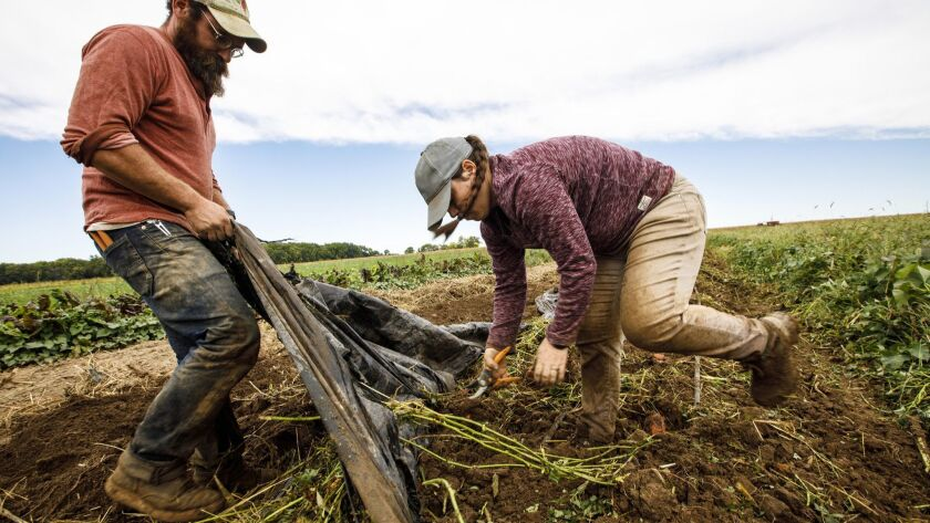 At PrairiErth Farm outside of downstate Atlanta, Ill., greenhouse manager Dylan Grose, left, and crew person Becky Creekmore remove plastic mulch so they can dig up sweet potatoes, Sept. 27, 2018.