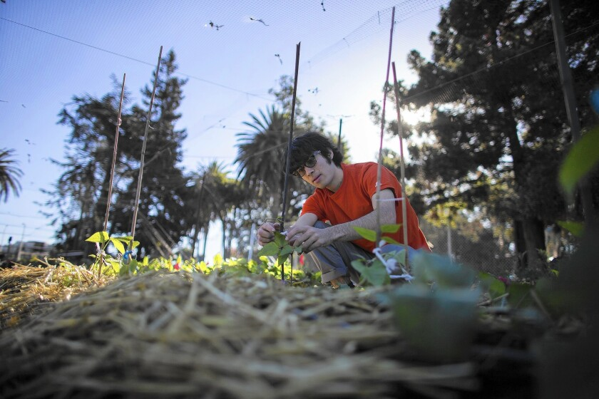UC Berkeley student Charlie James tends to bean plants in the university's community garden. The business major has also enrolled in a newly established academic minor in food systems.