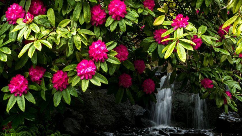 Azaleas in Portland's Crystal Springs Rhododendron Garden