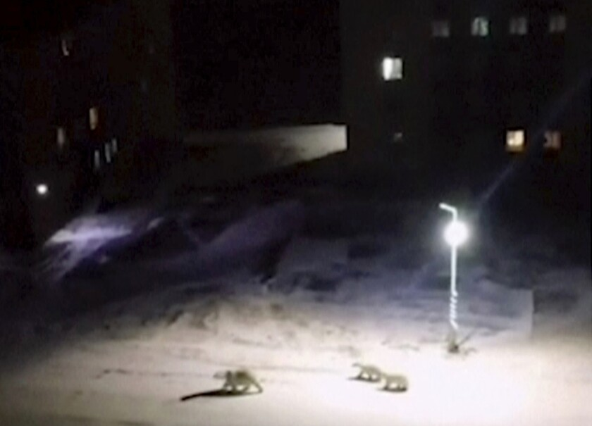 In this image taken from video, a polar bear and her cubs walk across the courtyard of a residential complex on Feb. 11 in Russia's Novaya Zemlya region, which has become overrun with bears looking for food.