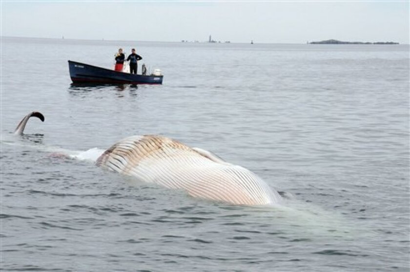 In this photo provided by the New England Aquarium, boaters watch as a dead 30-foot finback whale floats in the Boston Harbor, near Deer Island, Sunday, Oct. 7, 2012. Authorities don't know the cause of death. Coast Guard Petty Officer Robert Simpson says the whale was spotted early Sunday. Simpson says the Coast Guard took a team from the New England Aquarium to examine the whale and take samples. (AP Photo/The New England Aquarium)