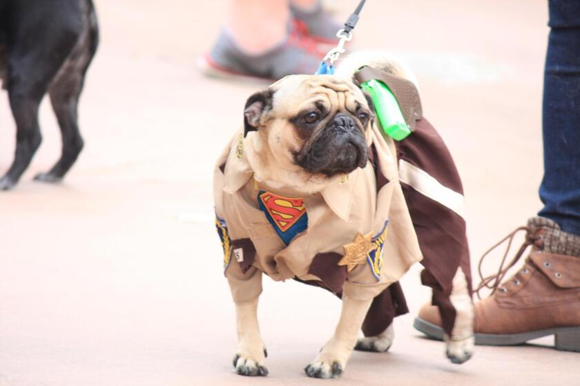 """A pug dressed as zombie-fighting Rick Grimes from """"The Walking Dead"""" for the pug apocalypse theme."""