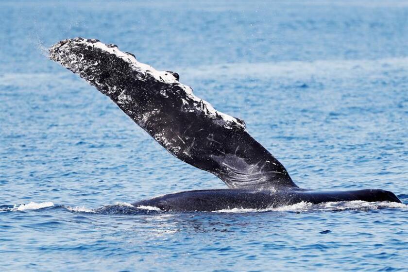La ballena jorobada visita una temporada más la Bahía de Cabo San Lucas, en el nororiental estado mexicano de Baja California Sur. EFE/Archivo