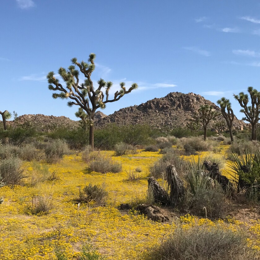 A desert scene of Joshua trees, scrubby plans, hills and yellow ground cover.