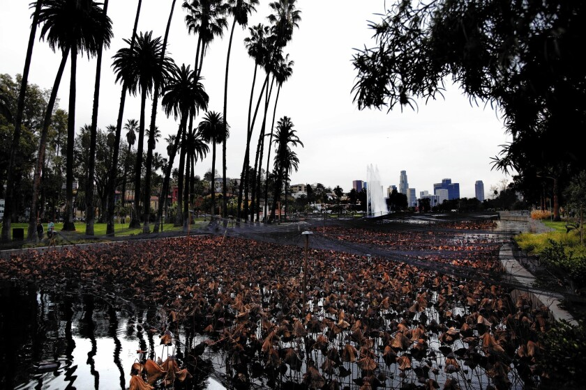 Echo Park Lake's lotus plants aren't dead — they're just resting