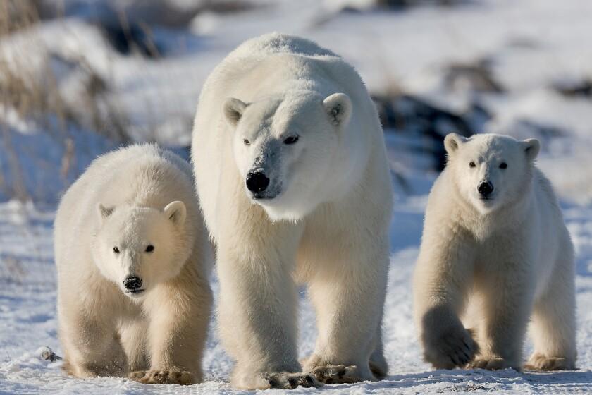 Polar bear mom and her cubs near Churchill, Canada