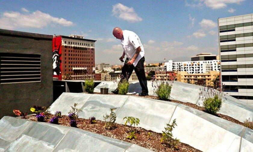 SKYLINE BOUNTY: Jonathan McDowell of Blue Velvet restaurant harvests lavender from 10-story-high terraced beds.